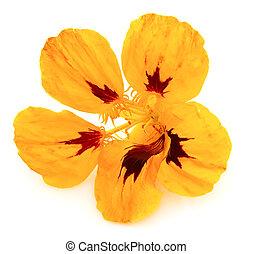 Yellow flower of a nasturtium close up