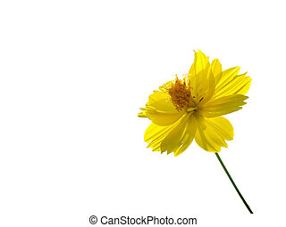 Yellow flower of cosmos isolated on white background