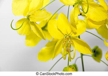 Yellow flower of Golden shower (Cassia fistula)