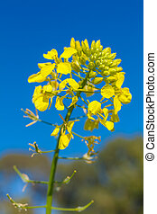 Yellow flower of mustard (Sinapis alba)