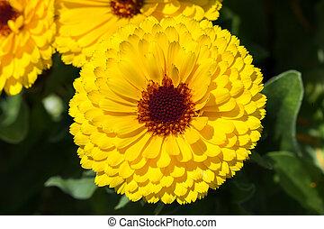 Yellow flower of October Birth Flower Calendula.