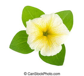 yellow flower of petunia with green leaves isolated on white background