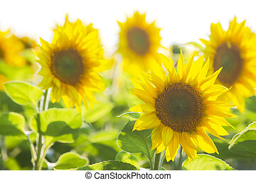 yellow flower of sunflower in a field closeup