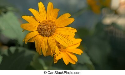 yellow flower on a green slow motion video background nature