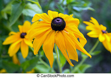 Yellow flower rudbeckia in the summer garden
