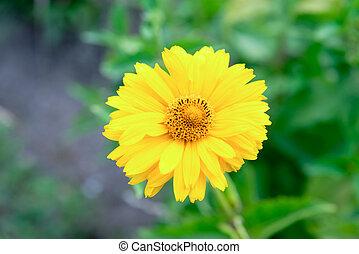 Yellow flower rudbeckia in the summer garden