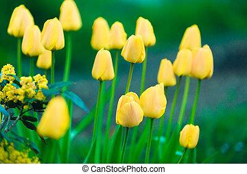 yellow flower Tulip in garden