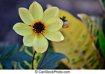 Yellow flower with brown center - A light yellow flower with...