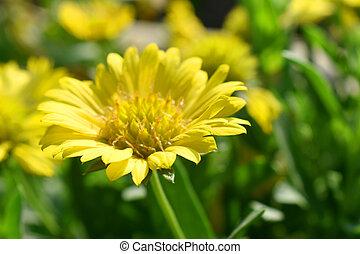Yellow flower with green leaves blurred background in garden. Indian blanket flower (Gaillardia aristata flower)
