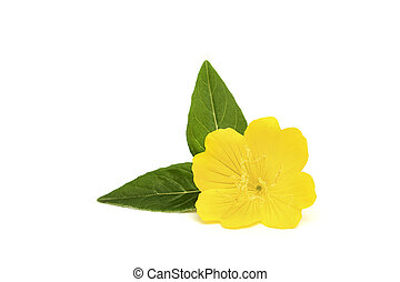 Yellow flower with leaves isolated on white background.