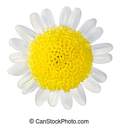 Yellow Flower with White Petals Isolated on White