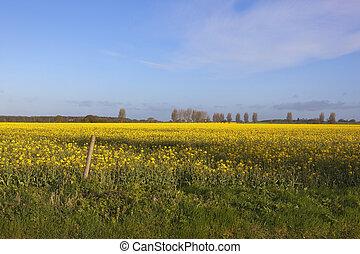flowering canola crop