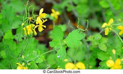Yellow flowering celandine in rain drops - An yellow...