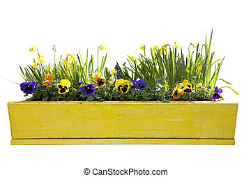Yellow flowerpot with daffodils isolated over white background