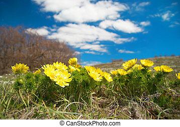 Yellow flowers (Adonis vernalis)