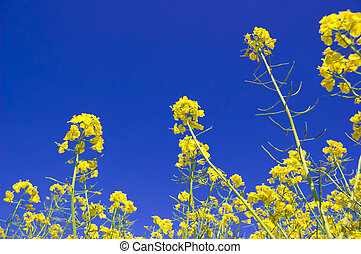 Yellow flowers and blue sky.