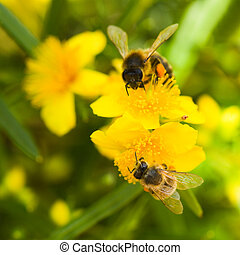 Yellow flowers and buds from Hypericum densiflorum with...