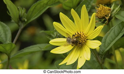 Yellow Flowers and Bumblebee - Steady, medium close up shot...