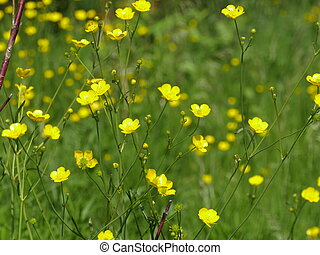 Yellow flowers burning buttercup in the meadow