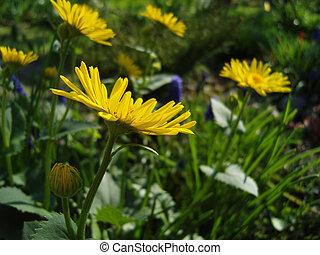 Yellow flowers. Doronicum.