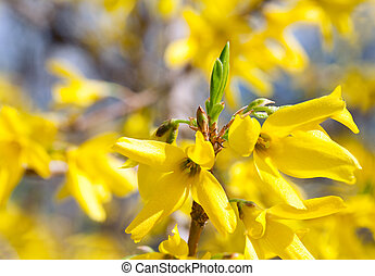 Spring blossoming twig of yellow Forsythia bush (on blossoming background)