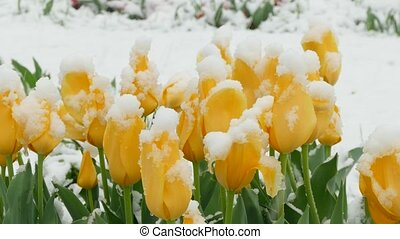 Yellow flowers freeze during a snowfall - Yellow buds of...