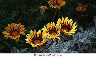 Yellow flowers Gazania swinging on the wind