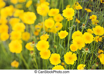 Yellow flowers growing wild.