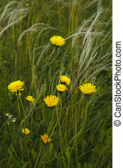 Yellow flowers in a meadow with growing feather grass