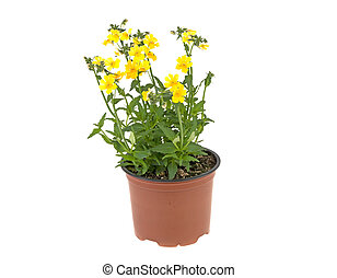 yellow flowers in a plastic pot on a white background
