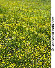 yellow flowers in a spring meadow
