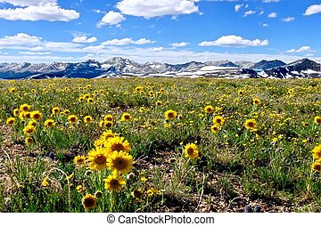 Yellow flowers in alpine meadows and snowy mountains on Independence Pass.