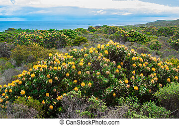 yellow flowers in Cape of Good Hope,Cape Town, UAR