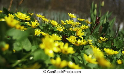 Yellow Flowers in Early Spring, Primroses