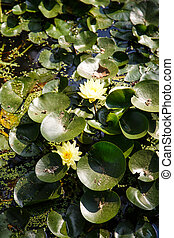 Yellow Flowers in Lilly Pads