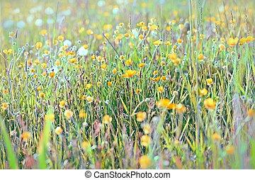 Yellow flowers in meadow - buttercup flower