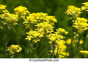 Yellow flowers in spring