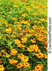 Yellow flowers - in the garden.