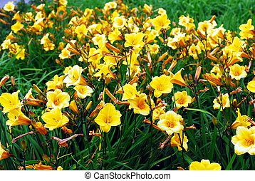 Yellow flowers in the green grass background