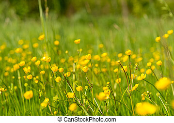 yellow flowers in the spring meadow