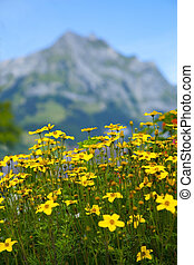 Yellow Flowers in the Swiss Alps