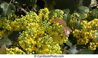 Yellow flowers mahonia spring day