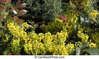 Yellow flowers mahonia spring day