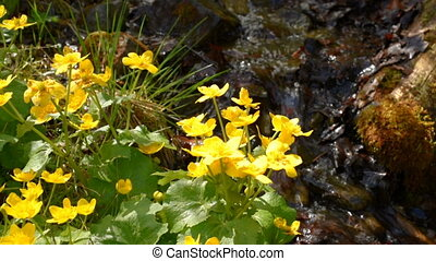 Yellow flowers near stream - Water flowing In a small stream...