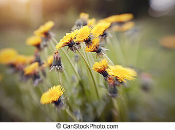 Yellow flowers of a dandelion in the field. Photo taken with...