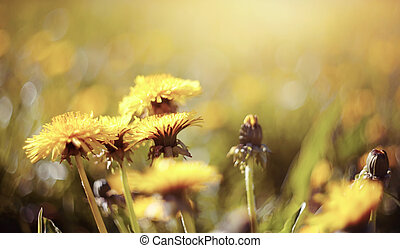 Yellow flowers of a dandelion