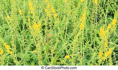 Yellow flowers of Agrimonia eupatoria blossoming in field....