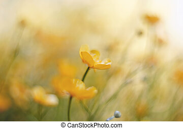Yellow flowers of buttercups in the field