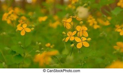 yellow flowers of celandine slow motion video - celandine...