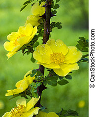 yellow flowers of dogrose close-up